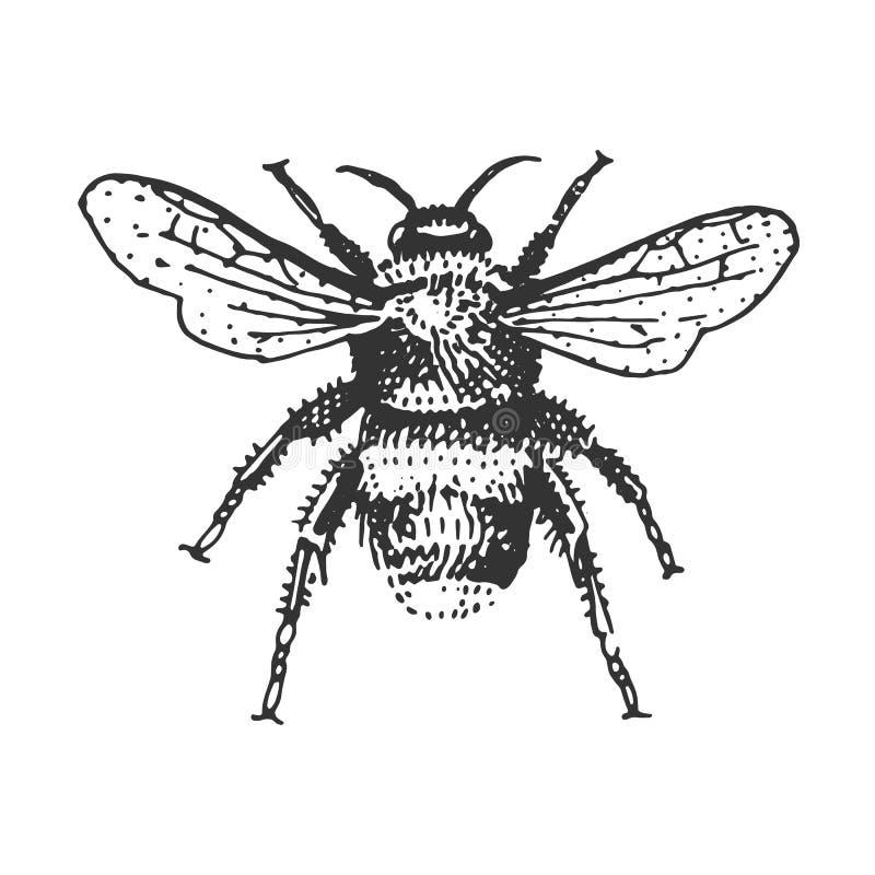 Ściga, insektów gatunki odizolowywający grawerującymi, ręka rysujący zwierzę w rocznika stylu royalty ilustracja