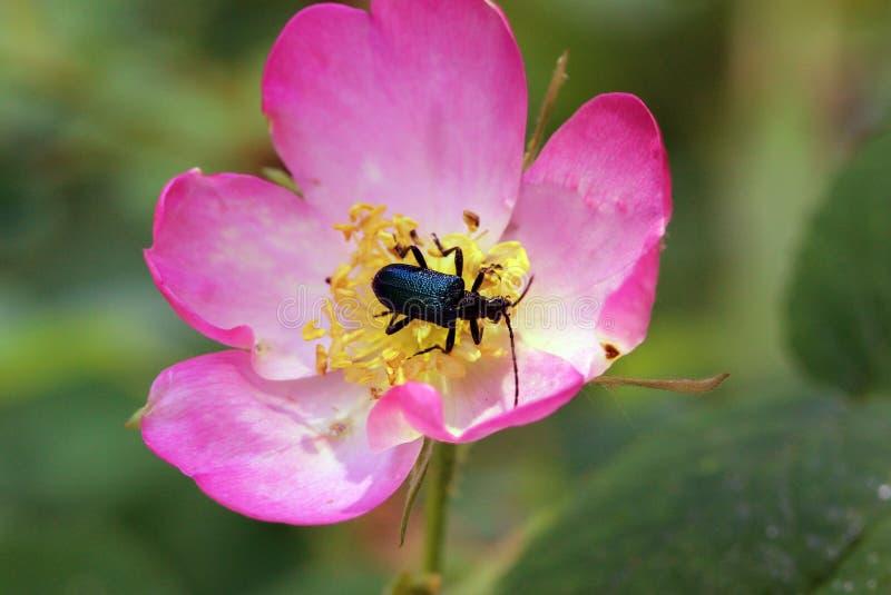 Ścigi czołganie w kwiat dziki wzrastał obrazy stock