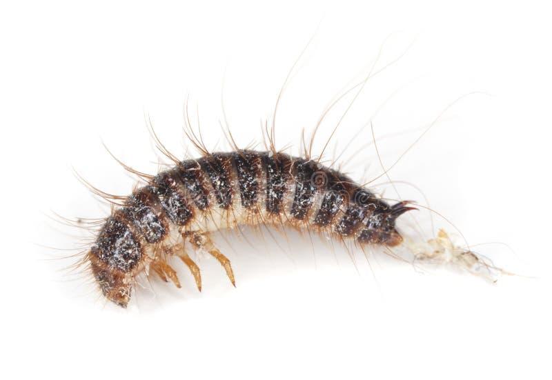 ścigi dermestid larwy zdjęcia royalty free