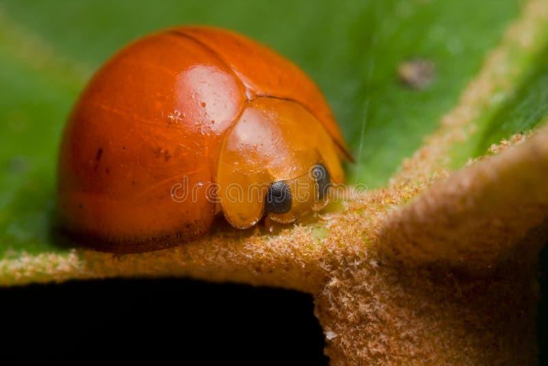 ścigi ladybird pomarańcze zdjęcia royalty free