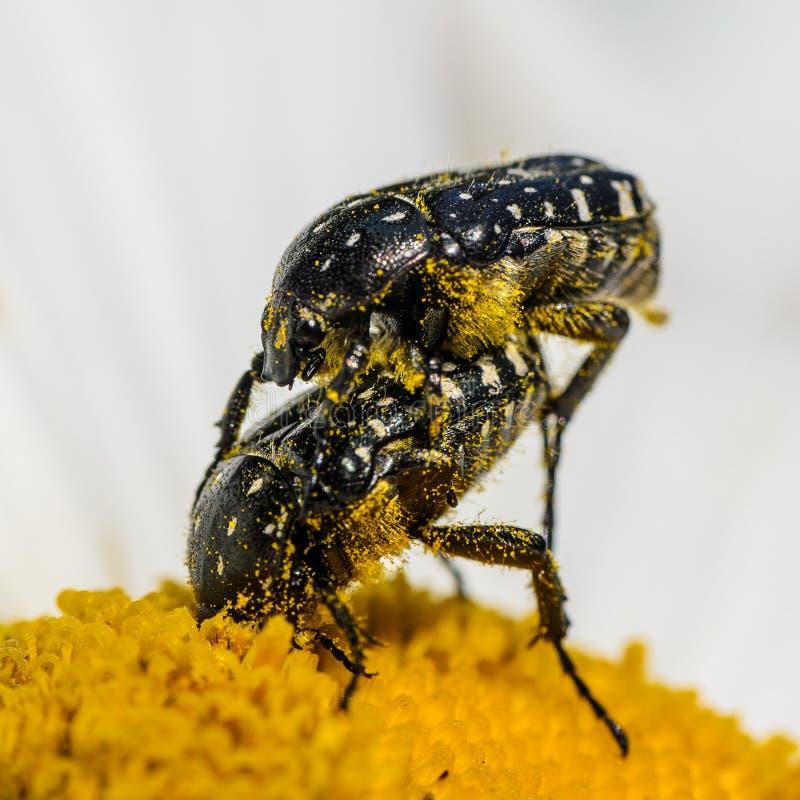 Ścigi Oxythyrea funesta lub biała łaciasta różana ściga na chamomile fotografia royalty free