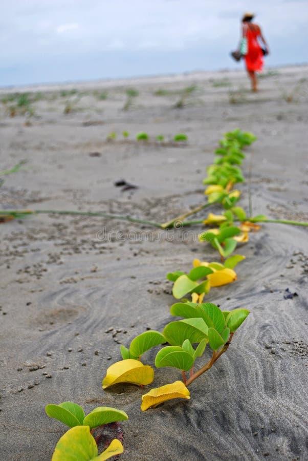 Ślad rośliny na Esmeraldas plaży zdjęcia royalty free