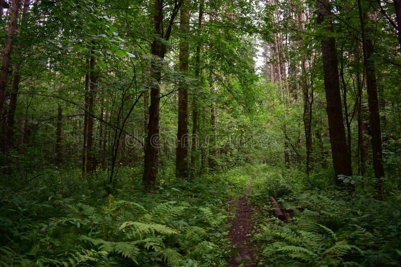 Ślad w deciduous lato zieleni lesie, spada gałąź, paprociach i trawach, obrazy stock