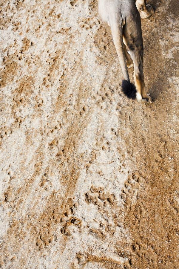 Ślada drapieżnika lew na ziemi zdjęcia stock