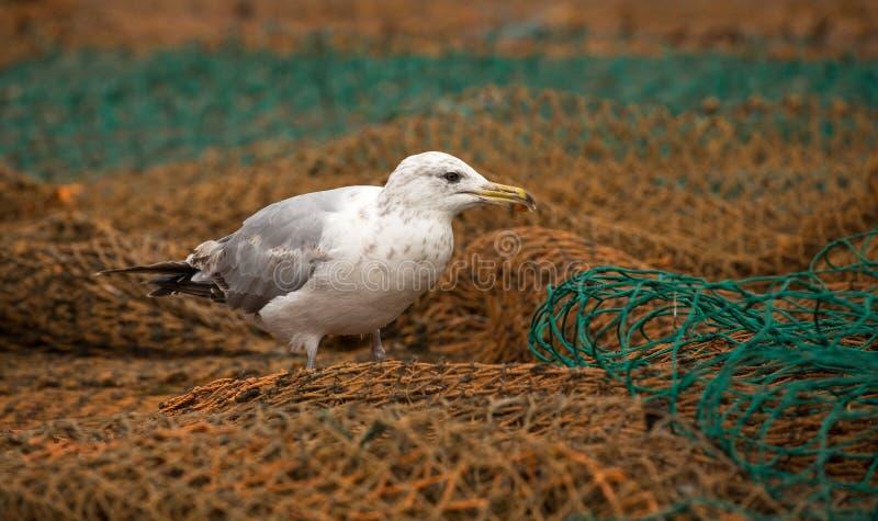 Śledziowy frajer na sieci rybackiej zdjęcia royalty free