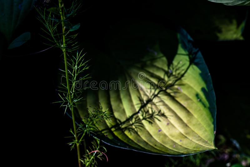 Śledzony zielony szeroki liść z cień obsadą na nim ` s zaświecał centrum obraz royalty free