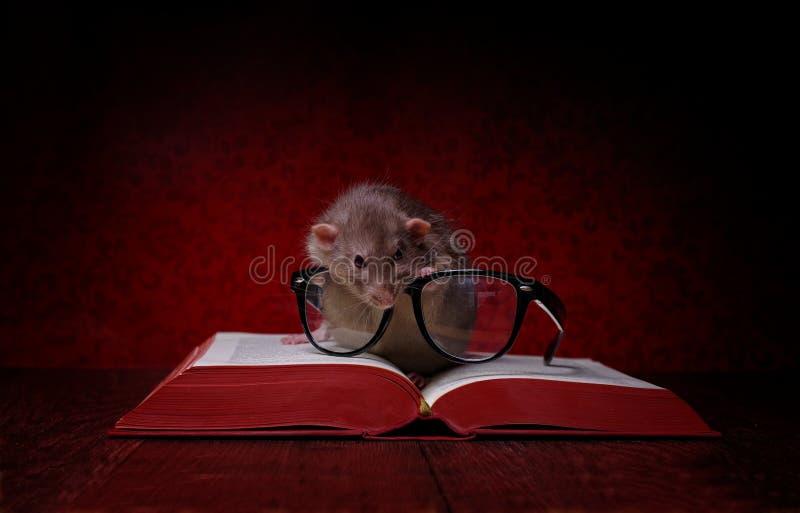 Śliczna ślepuszonka z czytelniczymi glases spojrzeniami w dużego, czerwieni książka fotografia stock