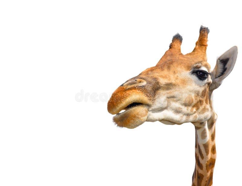 Śliczna żyrafa na białym tle fotografia royalty free