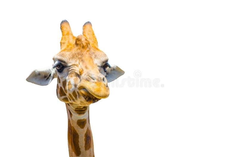 Śliczna żyrafa z gderliwą twarzą w zakończeniu odizolowywającym na białym tle obraz stock