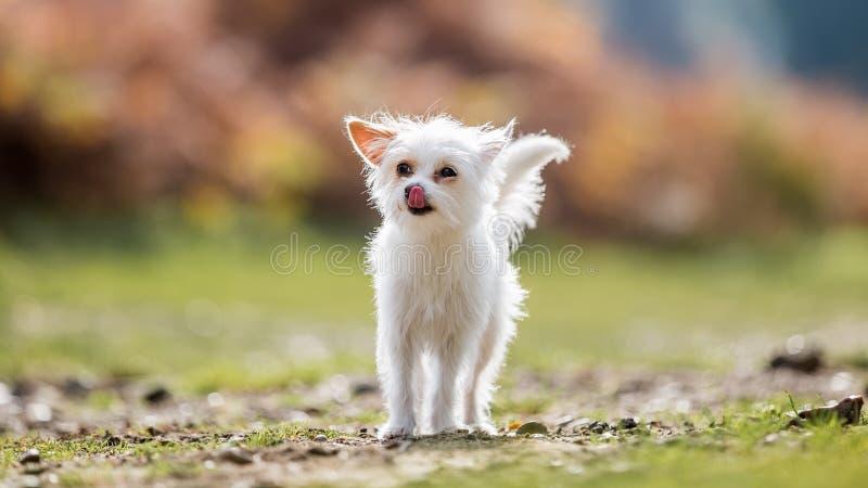 Śliczna biała mała Chorkie szczeniaka psa pozycja na szorstkiej ziemi liże swój nos fotografia stock