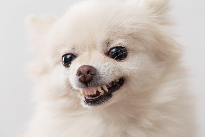 Śliczna Biała pomorzanka dostaje gniewny fotografia royalty free