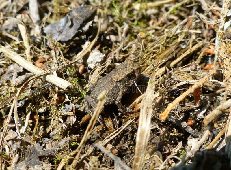 Śliczna brown żaby pozycja na suchej trawie obraz stock
