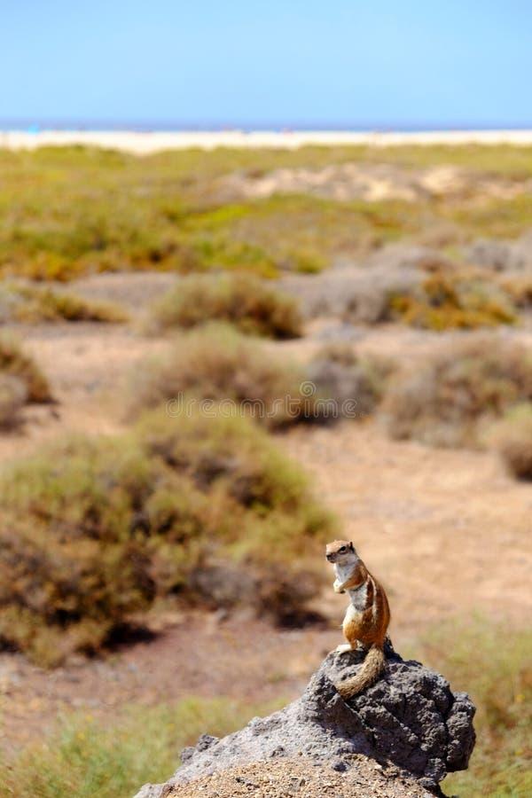 Śliczna brown wiewiórka na skale z morza i plaży tłem zdjęcie royalty free
