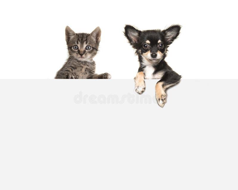 Śliczna chihuahua tabby i psa dziecka kota obwieszenia strona popiera kogoś nad popielatą papierową deską - obok - zdjęcia stock