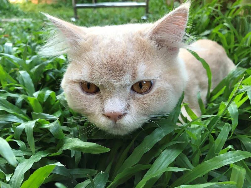 Śliczna ciekawa Perskiego kota twarz siedzi na zielonym podwórko zdjęcie royalty free