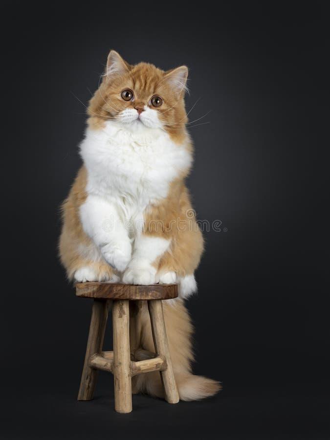 Śliczna czerwień z białą Brytyjską Longhair kot figlarką na czarnym tle fotografia royalty free