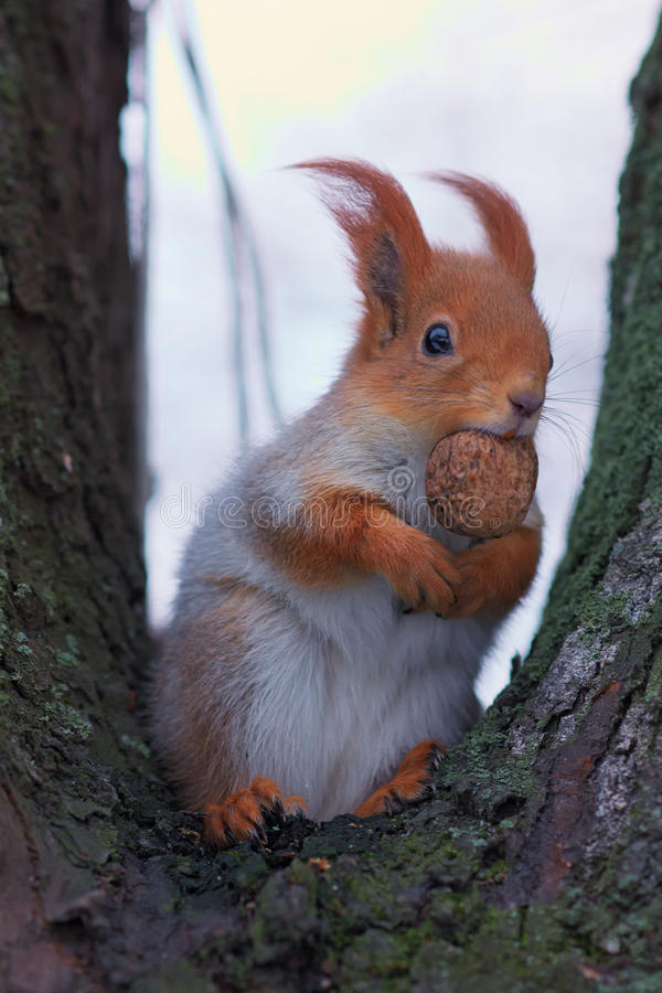 Śliczna czerwona wiewiórka jest usytuowanym na drzewie i je orzecha włoskiego zdjęcie royalty free