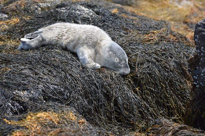 Śliczna drzemanie foki ciucia na gałęzatce w Maine zdjęcie stock