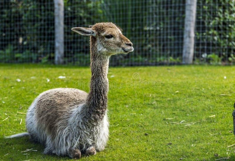 Śliczna dziecko lama obraz stock
