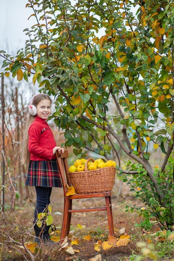Śliczna dziewczyna zbiera pigwy od drzewa zdjęcie stock