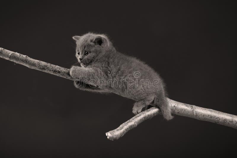 Śliczna figlarka up na gałąź, odosobnionej fotografia stock