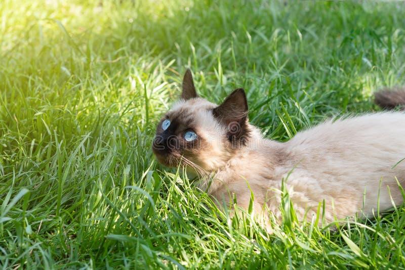 Śliczna figlarka z niebieskimi oczami siedzi w zielonej trawie fotografia stock