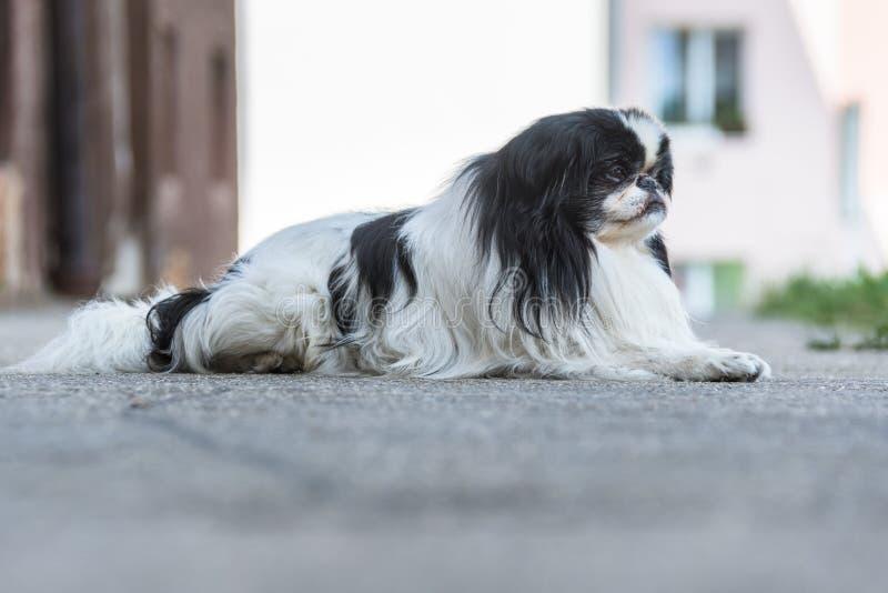 Śliczna fotografia czarny i biały futerko pies sadzający na drodze obraz royalty free