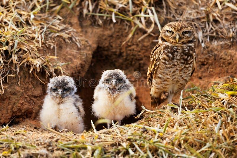 Śliczna i niebezpieczna sowy rodzina obraz royalty free