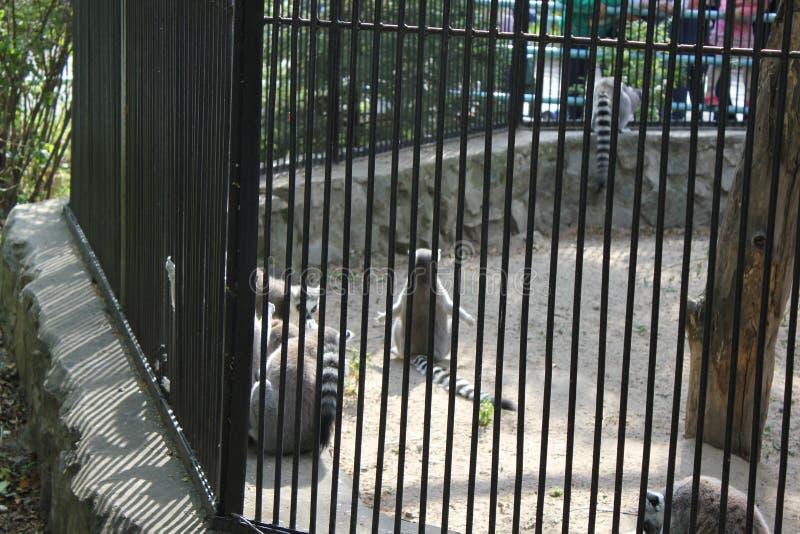 Śliczna lemur rodzina w zoo 18683 obrazy royalty free