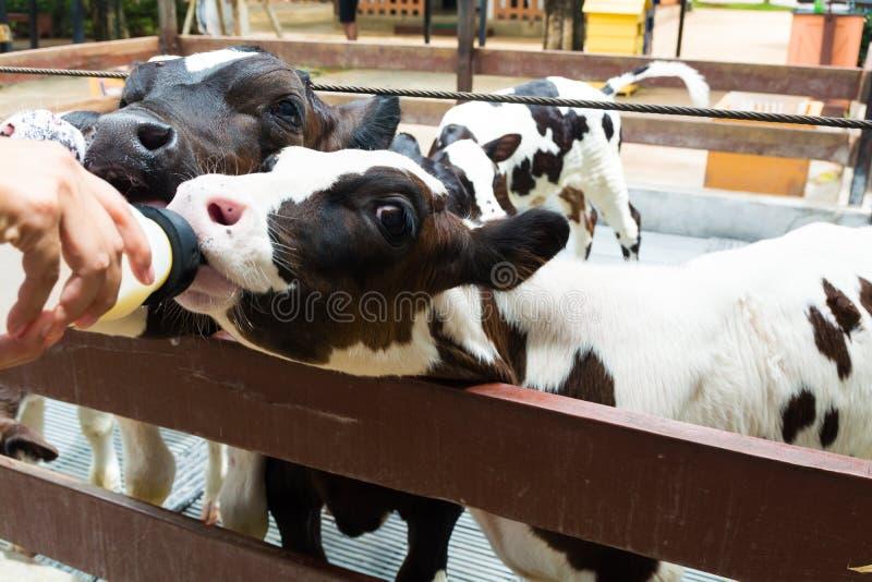 Śliczna Mała Czarny I Biały krowa, łydki Pić lub łasowanie mleko lub zdjęcie stock