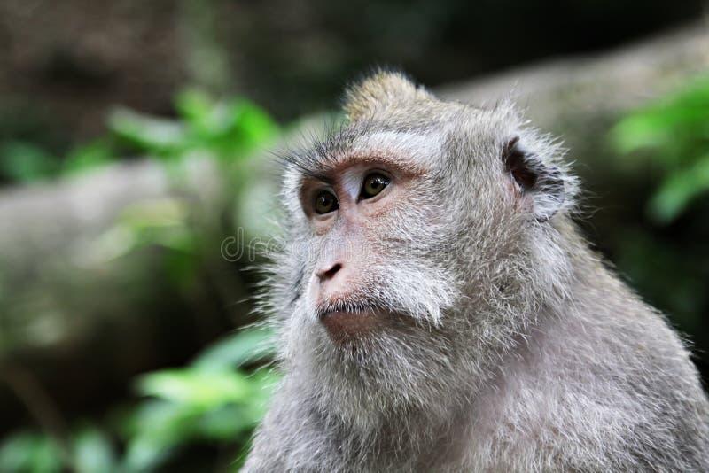 śliczna małpa fotografia stock