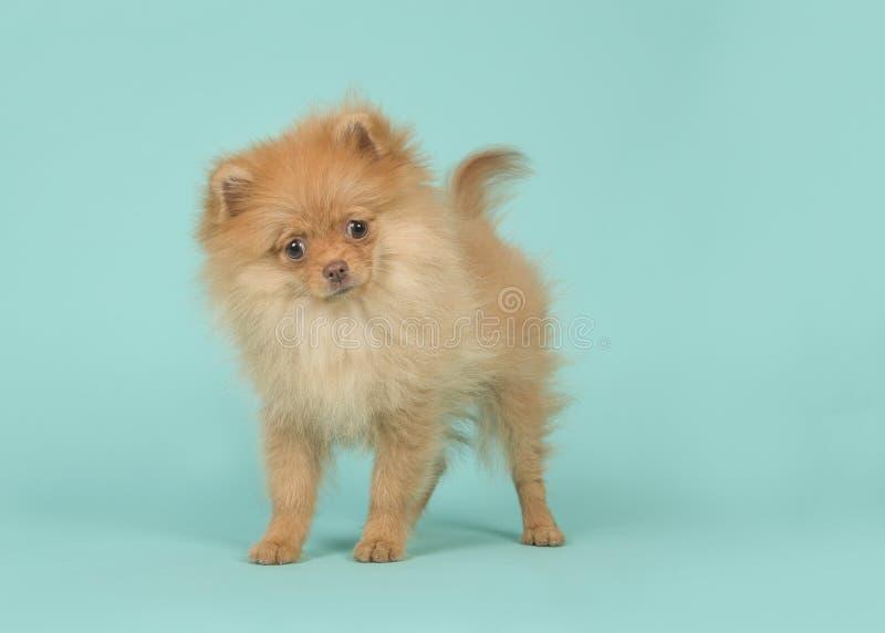 Śliczna mini spitz szczeniaka psa pozycja i merdanie swój ogonu patrzeć fotografia stock