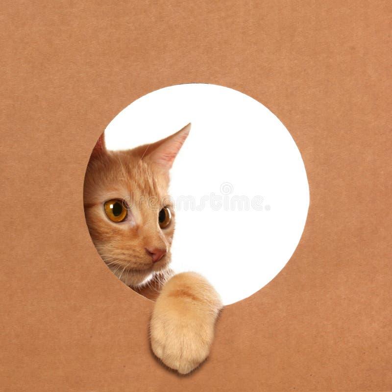 Śliczna pomarańczowa tabby figlarka bawić się w kartonie obrazy stock