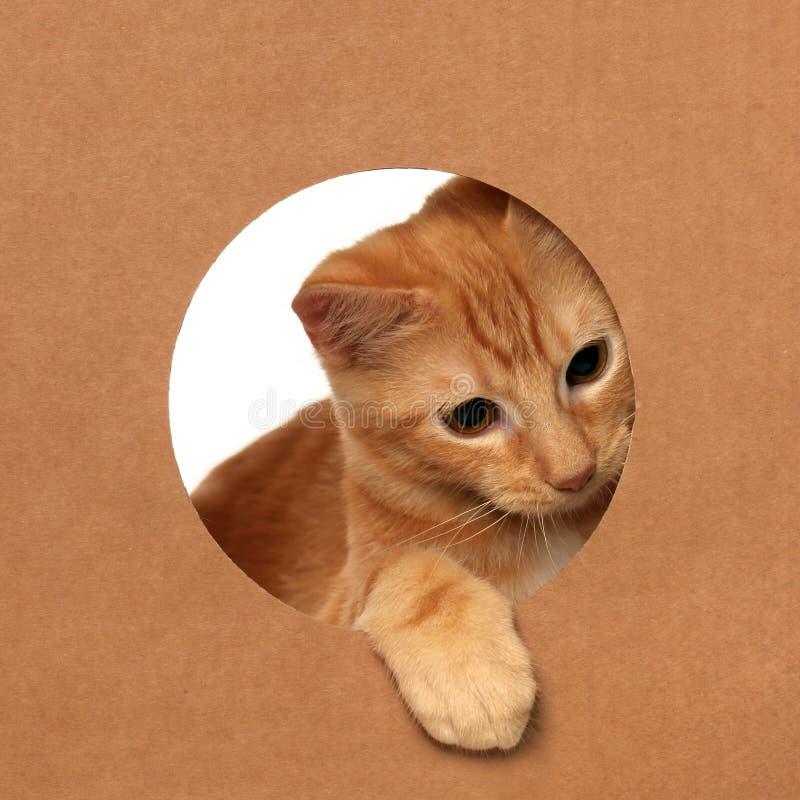 Śliczna pomarańczowa tabby figlarka bawić się w kartonie zdjęcia stock