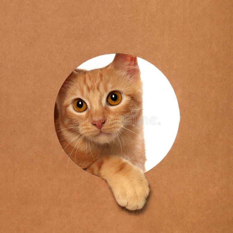 Śliczna pomarańczowa tabby figlarka bawić się w kartonie zdjęcie royalty free