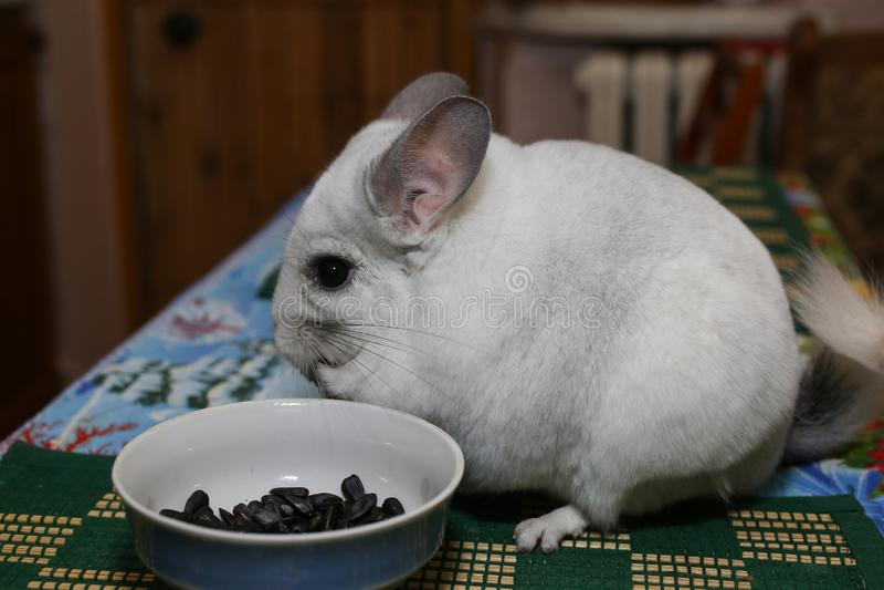 Śliczna puszysta biała szynszyla je blisko talerza z słonecznikowymi ziarnami na stole Zwierzę domowe w domu Biały życzliwy i fut zdjęcia stock