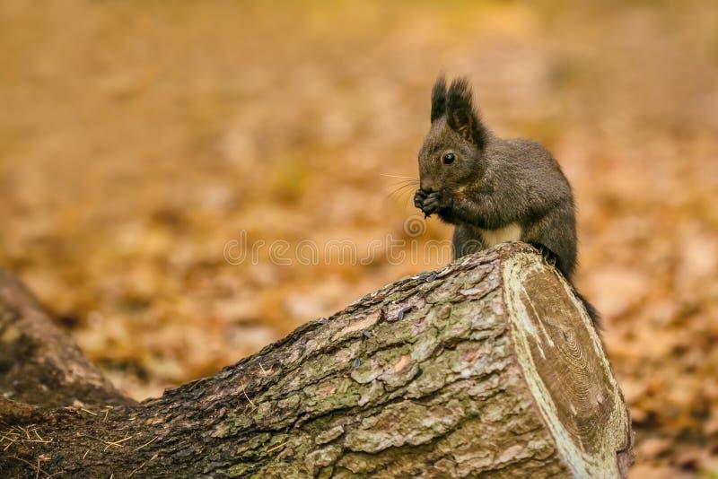 Śliczna puszysta ciemnego brązu barwiona wiewiórka fotografia stock