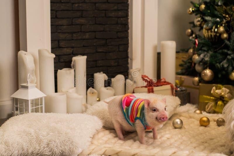Śliczna różowa mini świnia indoors zdjęcia stock