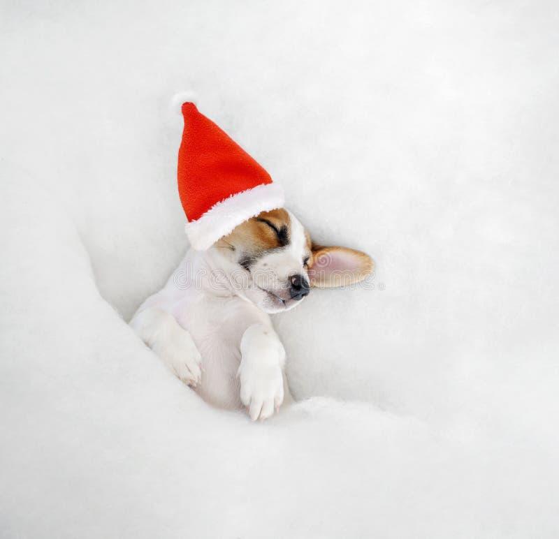 Śliczna szczeniak dźwigarka Russell w Santa kapeluszu obraz stock