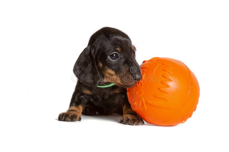 Śliczna szczeniaka psa jamnika pozycja z pomarańcze zabawki piłką odizolowywającą na białym tle zdjęcia royalty free