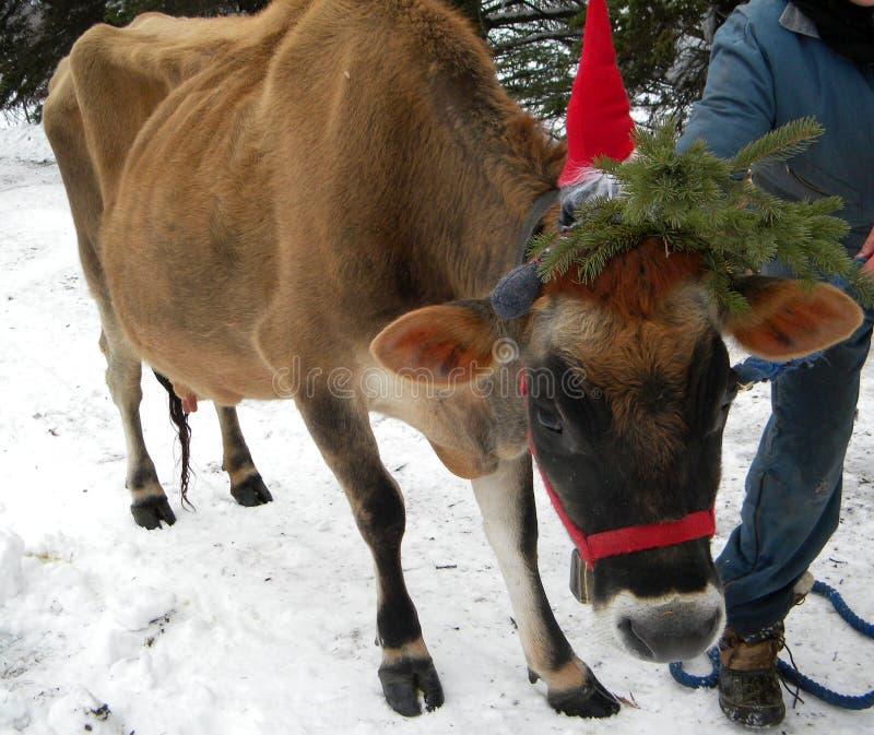 Śliczna uprawiająca ziemię krowa z czerwonym Santa kapeluszem i zielonymi gałąź sosna na białym śniegu dla tła kartki bożonarodze obraz royalty free