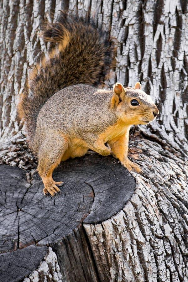 Śliczna wiewiórka na drzewie fotografia stock