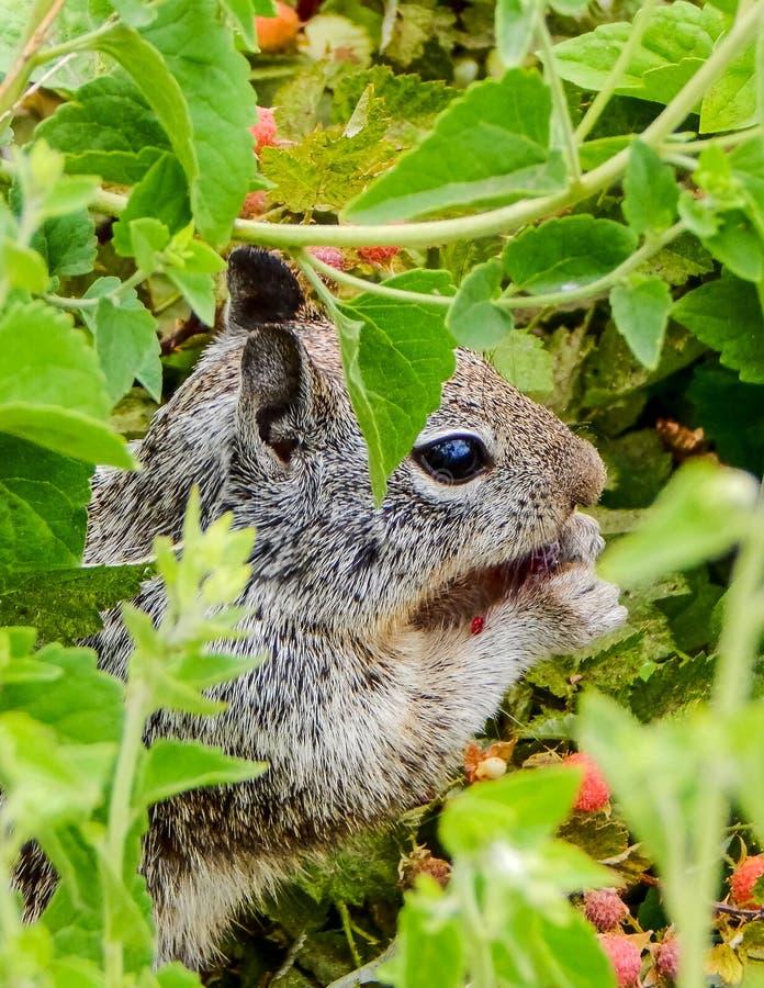 Śliczna wiewiórka Trzyma jagody obraz royalty free