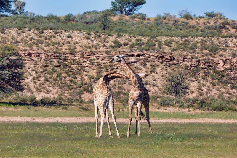 Śliczne żyrafy w miłości, Południowa Afryka przyroda obrazy royalty free