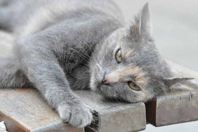 śliczne kot szarość zdjęcie stock