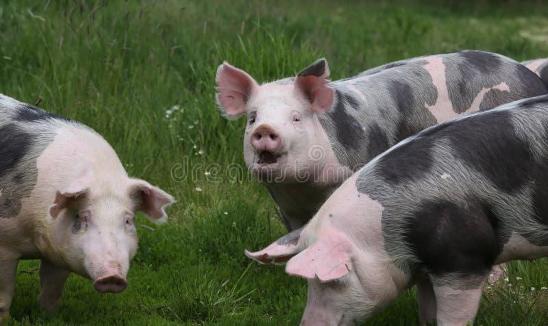 Śliczne młode świnie pasają wpólnie na łące zdjęcie royalty free