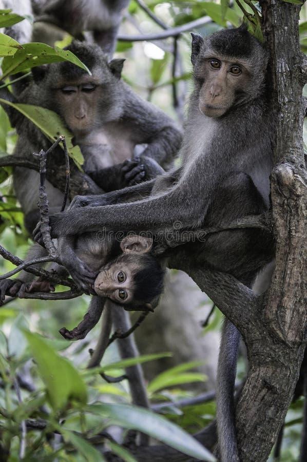 Śliczne małpy żyją w naturalnym lesie Tajlandia zdjęcia stock