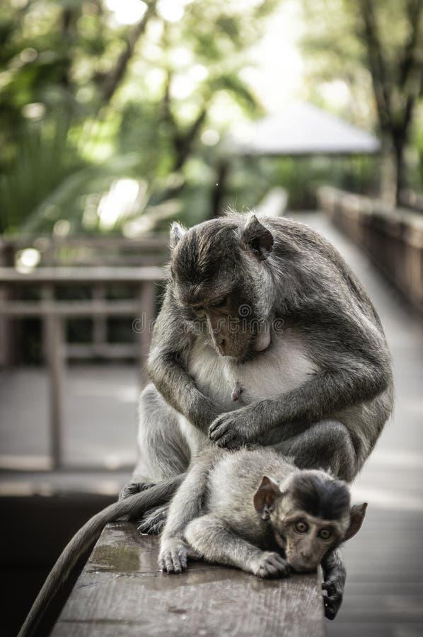 Śliczne małpy żyją w naturalnym lesie Tajlandia obrazy stock