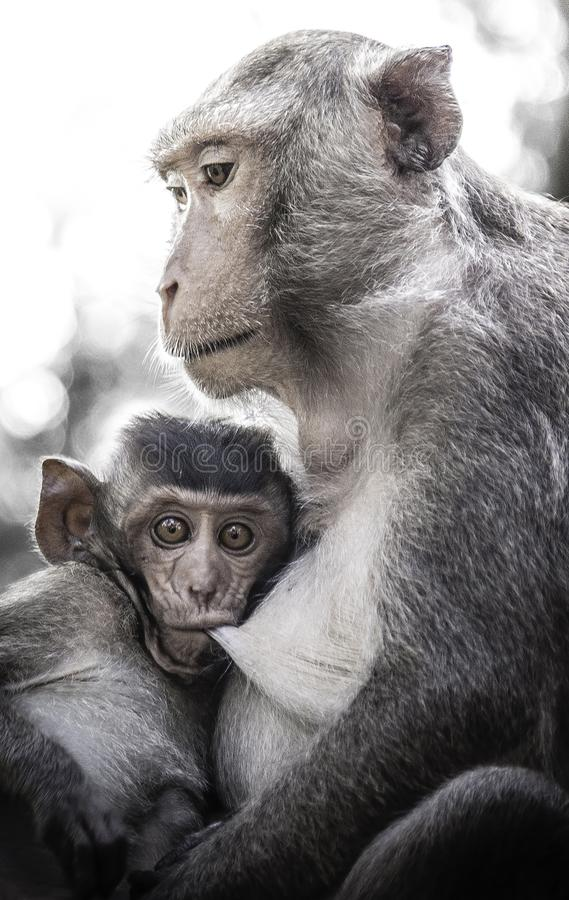 Śliczne małpy żyją w naturalnym lesie Tajlandia zdjęcie royalty free