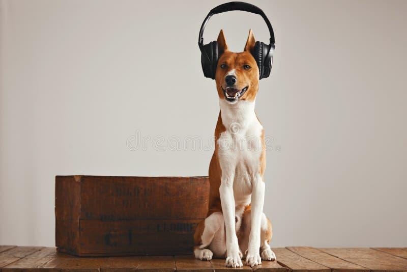 Ślicznego basenji psi jest ubranym hełmofony zdjęcie royalty free